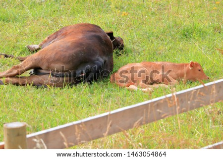 A peaceful, loving scene where a resting calf finds security beside her sleeping mother.  #1463054864