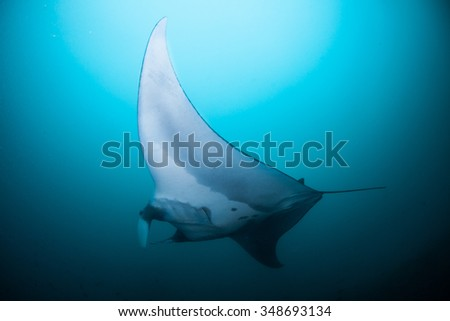 A peaceful manta gliding effortlessly through clear, blue water #348693134