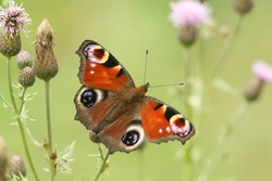 A Peacock Butterfly, Aglais io, pollinating a thistle flower in a meadow.