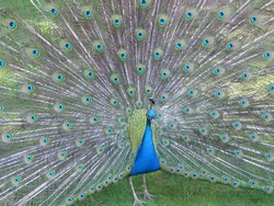A peacock displaying his colourful feathers in Harcourt Arboretum, University of Oxford