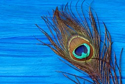 A peacock feather on wooden blue background with copy space.