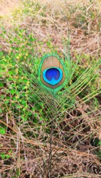 a peacock feather photo click on Indian farm photo is 100% natural