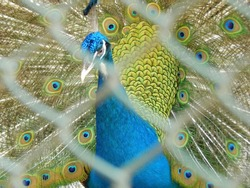 a peacock in zoo, behind the net in captivity