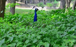 A peacock's long neck emerges from a green thicket, the rest of its body unseen, as if surveying a scene with caution.