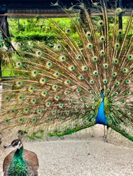 A peacock spreading its tail to another peacock.