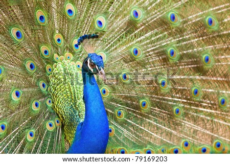 A Peacock with its feathers open - stock photo
