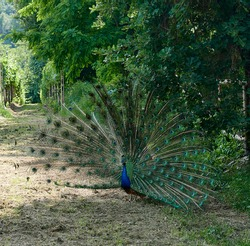 a peacock with the feathered wings