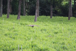 A peahen flying swiftly through the air upon a ginger farm. Indian national bird is popular and seen almost everywhere
