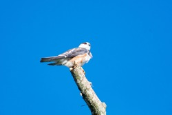 A Pearl Kite (Gampsonyx swainsonii) perching in the sun on a branch with blue sky.  A raptor with red eyes. Bird of prey. Wildlife
