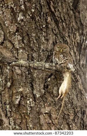 A Pearl-Spotted Owlet with its rodent prey, Kruger-National Park