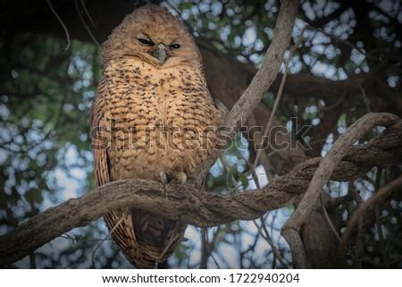 A Pel's Fishing Owl chick looking sleepy in a tree in the day. Okavango Delta, Botswana Foto stock ©