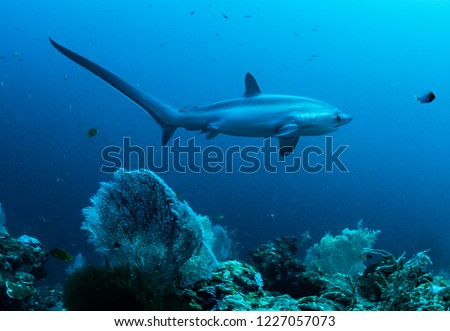 A pelagic thresher shark, Alopias pelagicus, swims by a coral reef in the Phillipines.