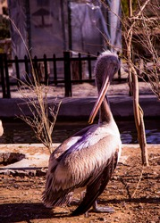 a pelican bending her head. a large gregarious water bird with a long bill, an extensible throat pouch for scooping up fish.