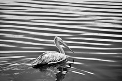 A pelican bird bird in a lake and searching for food