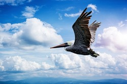 A pelican flying over the Bay of Galveston on a beautiful summer day after a hurricane, against a deep blue cloud filled sky.