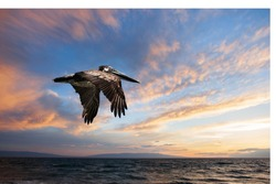 A Pelican in flight over the Gulf of Mexico in Texas.