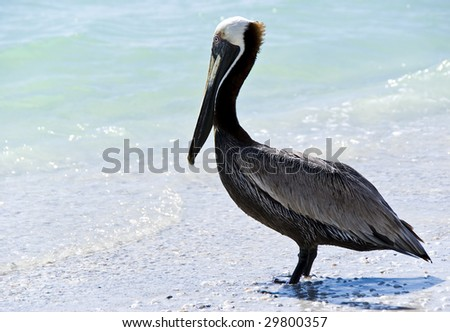 A pelican staring at the turquoise sea, on a beach in Florida