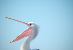 A pelican with it's bill wide open on light blue background with copy space