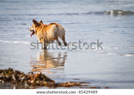A Pembroke Welsh Corgi dog running on the beach on a sunny day
