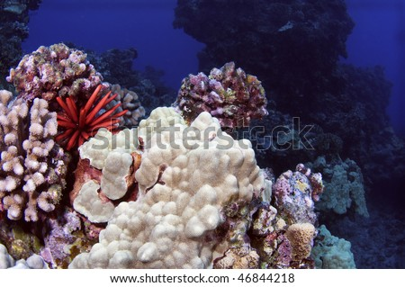 A pencil urchin sitting among coral formations in the South Pacific.