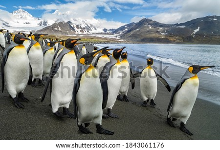 A penguin colony in Antarctica, beautiful penguins going to the water