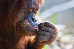 A pensive orangutan in Melbourne, Victoria, Australia