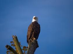 A perched female bald eagle