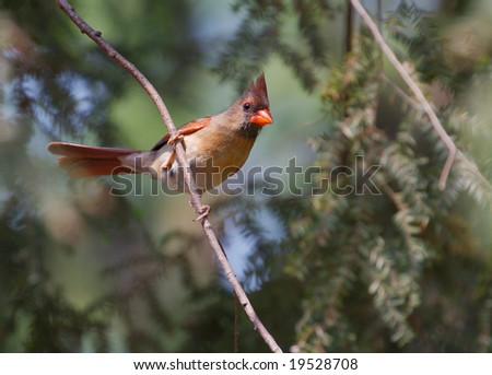 A perched female northern cardinal. - stock photo