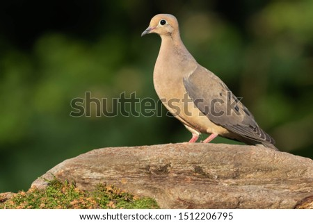 A perched mourning dove enjoying rest