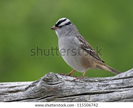 A perched White-crowned Sparrow (Zonotrichia leucophrys) sittings on a log.