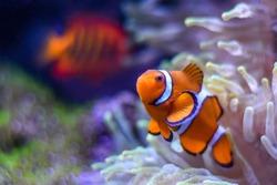 A Percula Clownfish,  (Amphiprion percula), also known as