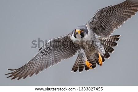 A Peregrine Falcon  Stock photo ©