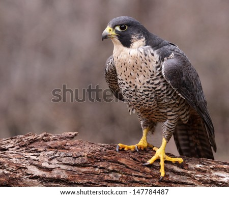 A Peregrine Falcon (Falco peregrinus) perched on a stump.  These birds are the fastest animals in the world. Stock photo ©