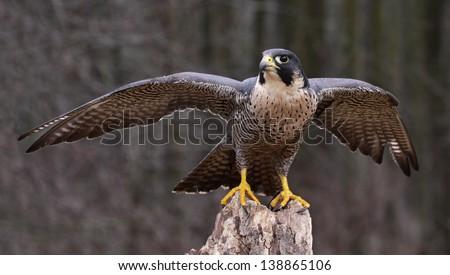 A Peregrine Falcon (Falco peregrinus) spreading it's wings while perched on a stump.  These birds are the fastest animals in the world.  Stock photo ©