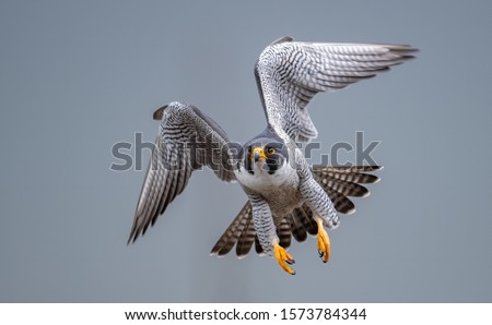 A peregrine falcon in New Jersey Stock photo ©