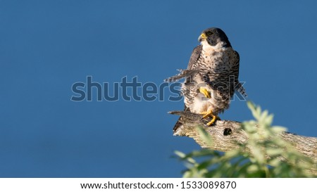 A Peregrine Falcon perched on the cliffs.