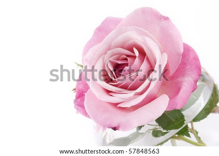 A perfect pink rose on a horizontal white background, perfect for Mother's Day