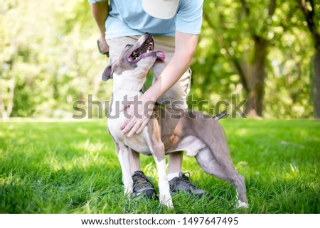 A person petting a happy and affectionate gray and white Pit Bull Terrier mixed breed dog