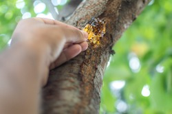 A person plucking resins gum sap from the bark of a cherry tree