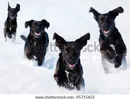 a pet black dog runs in the snow