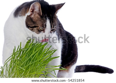 A pet cat enjoys eating fresh grass. Isolated on white background.