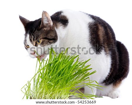 A pet cat enjoys eating some fresh grass. On a white background.