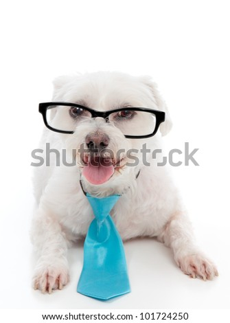 A pet dog wearing black rimmed eye glasses and blue neck tie.