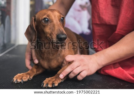 A pet groomer or vet reassures an uneasy brown dachshund while at a clinic or dog salon. Stock photo ©