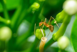 A pharaoh ant on top of a flower part A pharaoh ant