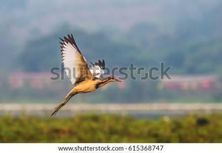 A Pheasant tailed Jacana taken off from a paddy field