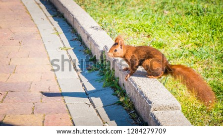 A photo of a beautiful squirrel with red fur. Squirrels are members of the family Sciuridae, which includes medium-size and small rodents and are indigenous to the Africa, Eurasia, and Americas