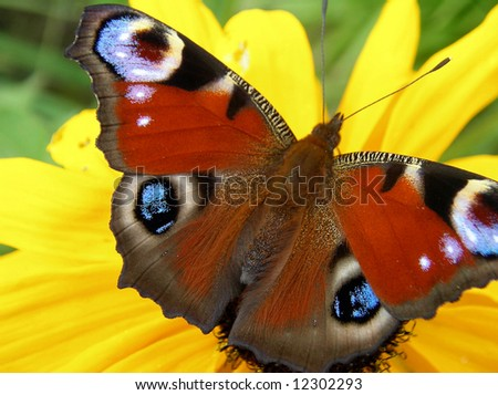 A photo of a beautifull butterfly on a yellow flower.