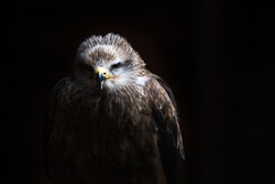 A photo of a Black kite (Milvus migrans), with all light naturally occuring creating the black background. This is a bird is a raptor.