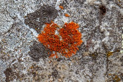 A photo of a common orange lichen in Germany together with two other species of lichens. The yellowish lichen grows on a rock. It has a strong color. There is also grey and blackish lichens.